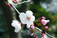 桜3・27.jpg